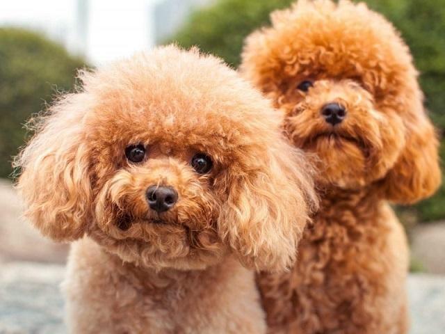 Chó Poodle đã xuất hiện cách đây ít nhất là 400 năm ở các nước Tây  u
