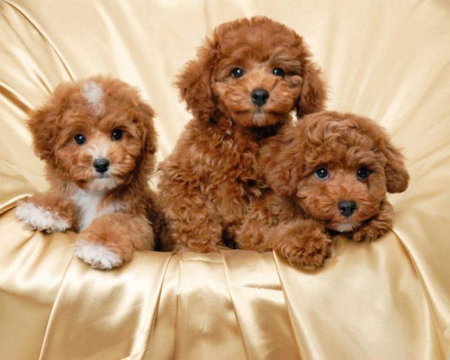 Giá chó Poodle phụ thuộc vào rất nhiều yếu tố