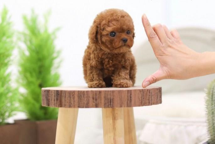 Kích thước cơ thể của Teacup Poodle này lúc bé chỉ ngang bằng tách trà