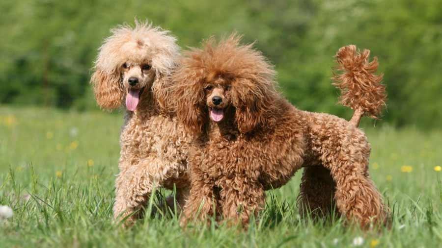 Miniature Poodle cũng thuộc vào dạng chó lớn trong các loại Poodle