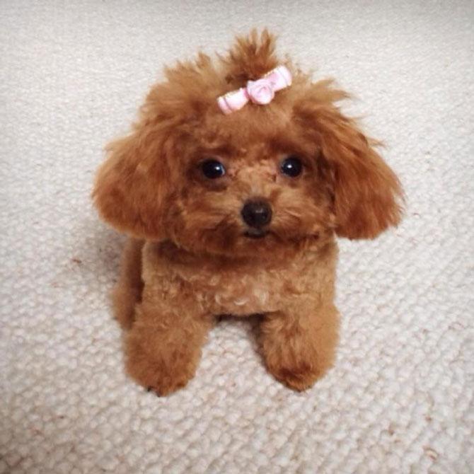 Mỗi bé Tiny Poodle chỉ có chiều cao khoảng 20 đến 25cm