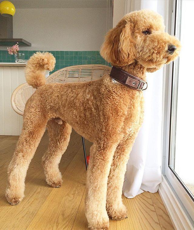 Standard Poodle là dòng chó Poodle lớn nhất hiện nay