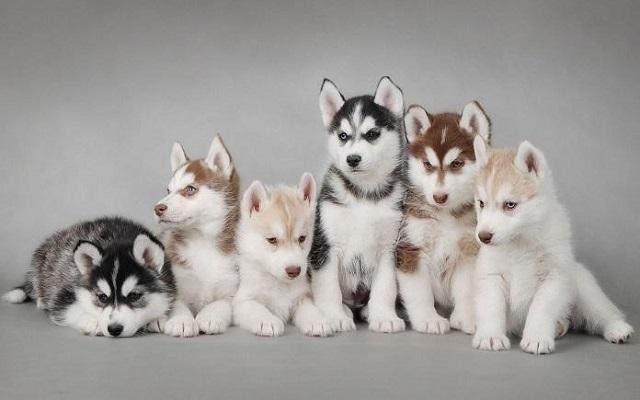 Bạn nên nuôi chó Husky từ lúc chúng còn nhỏ