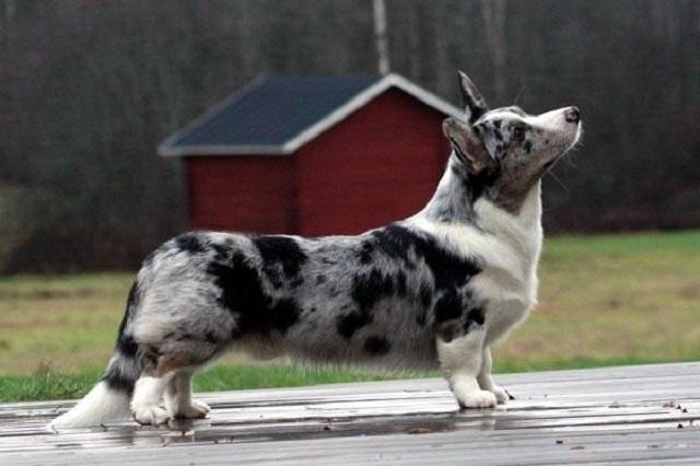 Cardigan Welsh Corgi là giống chó cổ của vùng Cardiganshire