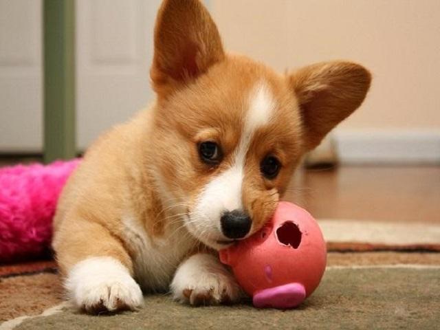 Chó Corgi dễ bị tổn thương hệ cột sống