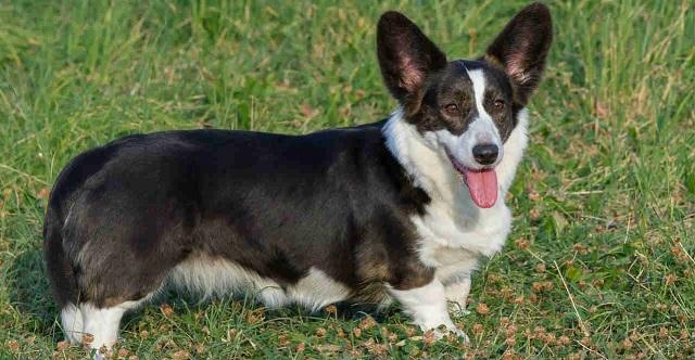 Chó Corgi là giống chó chăn gia súc có nguồn gốc từ xứ Wales