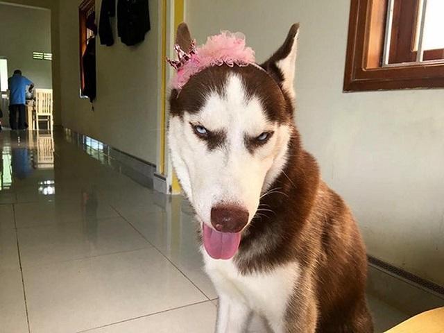Chó Husky là thánh biểu cảm