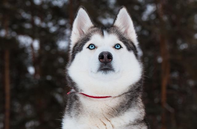 Chó Husky rất tăng động và nghịch ngợm