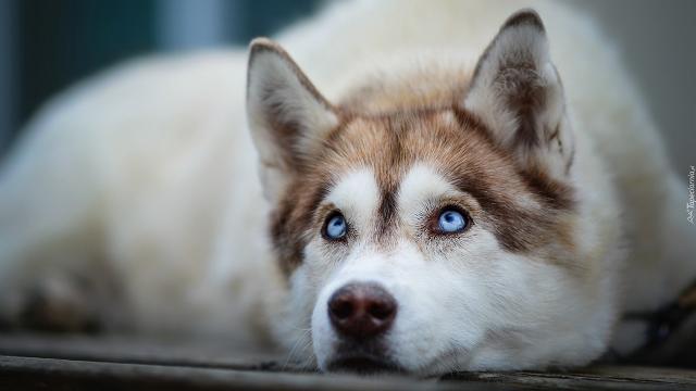 Chó Husky rất trung thành và thông minh