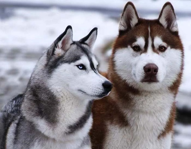 Chó Husky sở hữu bộ lông gồm 2 lớp tương đối dày