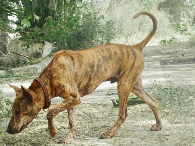 Chó Phú Quốc có thân hình rất thon gọn và săn chắc