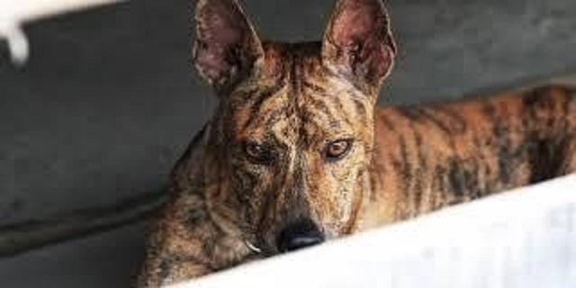 Chó Phú Quốc là giống chó đặc trưng của hòn đảo Phú Quốc, Việt Nam