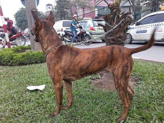 Chó Phú Quốc xếp vào dòng chó săn mồi rất thông minh và dũng mãnh