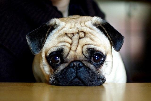 Chó Pug có gương mặt với đôi mắt tròn, lồi