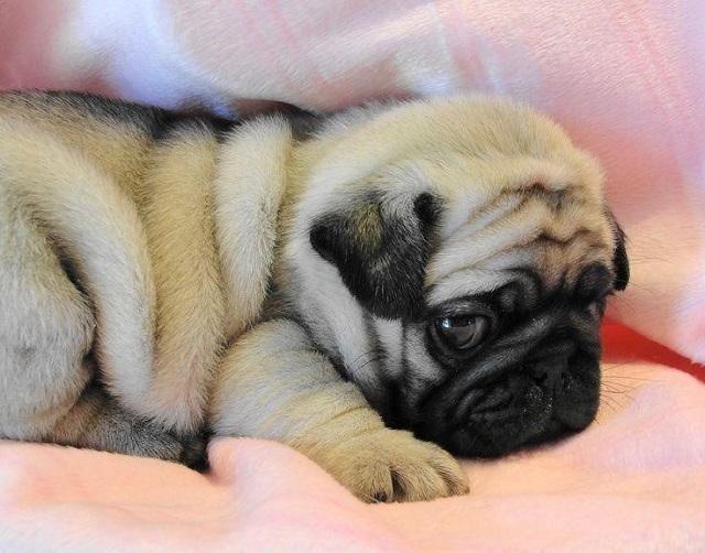 Chó Pug có tuổi thọ trung bình từ 12 đến 15 năm