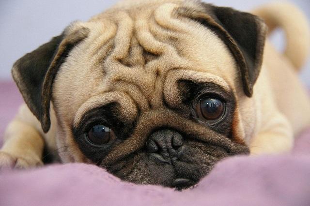 Chó Pug rất thích làm nũng