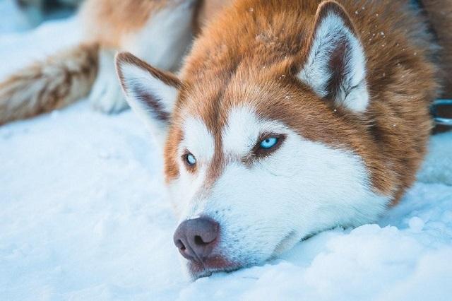 Chú Husky có màu mắt xanh