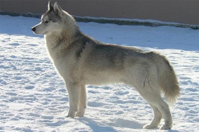 Husky là giống chó có kích thước cơ thể thuộc vào loại trung bình
