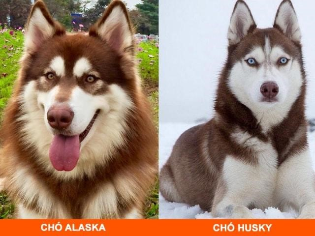 Husky và Alaska đều là 2 dòng chó kéo có nhiều đặc điểm tương đồng về ngoại hình
