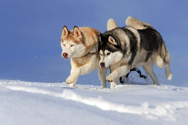 Mũi của Husky có màu sắc thay đổi theo màu lông
