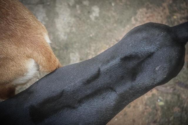 Xoáy lông trên lưng của chó Phú Quốc